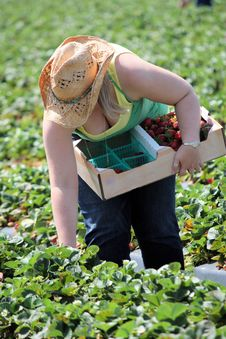 Strawberry Picking Royalty Free Stock Photo