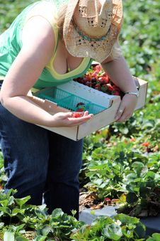Strawberry Picking Royalty Free Stock Images