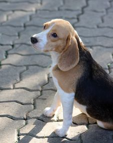 Free Beagle Puppy Stock Photos - 13624783
