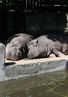 Two Hippos Royalty Free Stock Image