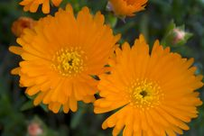 Free Orange Flower Royalty Free Stock Images - 13625449