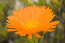 Free Orange Flower Stock Photos - 13625543