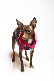 Picture Of A Funny Curious Toy Terrier Dog