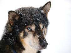 Free Portrate Of A Sledge Dog Royalty Free Stock Photo - 13626455