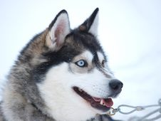 Free Portrate Of A Sledge Dog Stock Images - 13626474