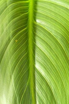 Free Green Leaf Royalty Free Stock Photos - 13626508