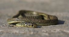 Free Grass Snake Royalty Free Stock Photo - 13626585