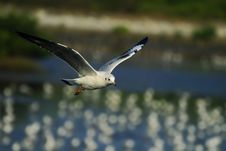 Free Lonely Seagull Stock Photography - 13627212