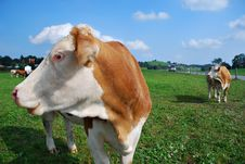 Free Cows On The Meadow Stock Photo - 13628110
