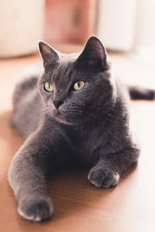 Free Close-up Photo Of A Russian Blue Cat Lying Down Stock Photography - 136260892