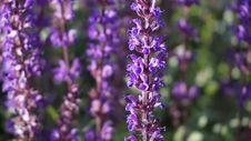Free Plant, English Lavender, Lavender, Purple Stock Image - 136289571