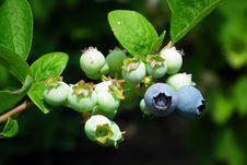 Free Flora, Berry, Plant, Huckleberry Stock Photo - 136289980