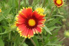 Free Flower, Blanket Flowers, Plant, Wildflower Stock Photos - 136290163