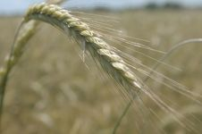 Free Food Grain, Wheat, Rye, Triticale Stock Image - 136290401