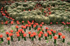 Free Cactuses Stock Images - 13630214