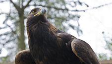Free Brown Eagle Stock Photos - 13631593