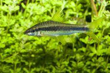 Free Barbus Fish In Aquarium Stock Photos - 13634153