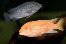 Free Red Cichlid In Aquarium Stock Photo - 13634190