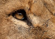 Free Lion Up Close Royalty Free Stock Images - 13634319
