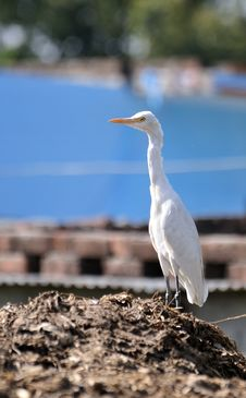 Free White Cattle Egret Stock Photography - 13634522