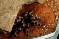 Free Brachypelma Smithi Mexican Redknee Royalty Free Stock Photo - 13634645
