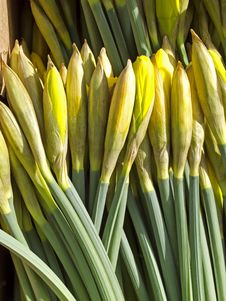 Free Daffodil Stock Images - 13634764