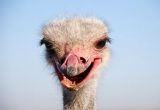 Free Ostrich Emotions Stock Photography - 13635732