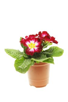 Free Primula Bedding Plant Royalty Free Stock Photos - 13635868