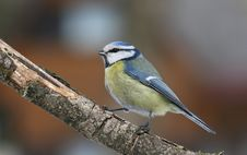 Bluetit On Branch Royalty Free Stock Photo