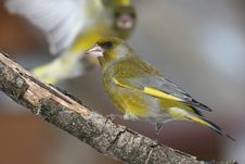 Free Greenfinch Attack Royalty Free Stock Photos - 13636298