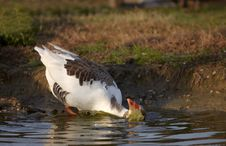 Free Goose In The Water Bath Stock Photography - 13637492