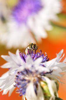 Free Sucking Bee Stock Photos - 13637593