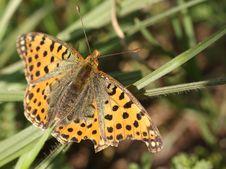 Free Butterfly(issoria Lathonia)macro Stock Photo - 13638150