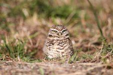 Free Burrowing Owl Royalty Free Stock Photos - 13638338