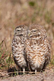 Free Burrowing Owl Pair Stock Photos - 13638343