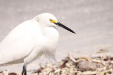 Free Snowy Egret Royalty Free Stock Images - 13638359