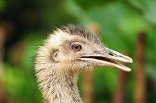 Free Baby Ostrich Stock Photos - 13639133