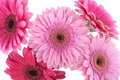 Free Pink Gerbera Flowers Isolated On White Royalty Free Stock Photo - 13641165