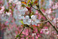 Free Peach Blossoms Royalty Free Stock Image - 13642056