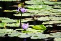 Free Lotus Flower Royalty Free Stock Photography - 13646707