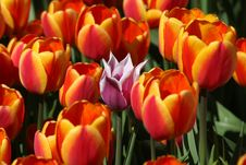 Free One Pink Tulip Among The Red Tulips Royalty Free Stock Photos - 13640198