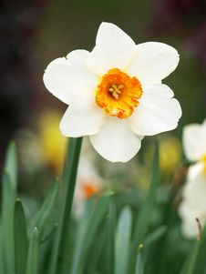 Free Narcissus Royalty Free Stock Image - 13640416
