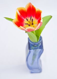 Free Tulip In Vase. Royalty Free Stock Image - 13640826