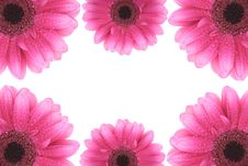 Free Pink Gerbera Flowers Isolated On White Stock Images - 13641064
