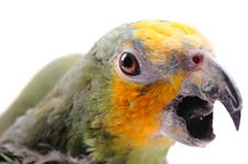 Free Colorful Parrot On The  White Background Royalty Free Stock Image - 13641616