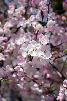 Free Cherry Blossoms Royalty Free Stock Photos - 13641718