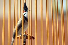 The Red-whiskered Bulbul In The Birdcage Royalty Free Stock Images