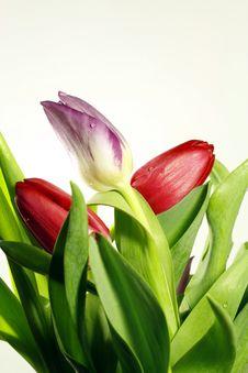 Free Tulip Flowers Stock Photos - 13643083