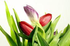 Free Tulip Flowers Royalty Free Stock Photo - 13643085