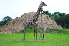 Free Giraffes Stock Images - 13643374